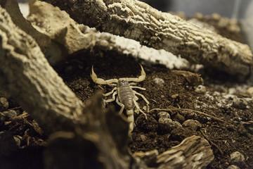 Terrarium venomous scorpion
