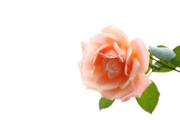 オレンジ色のバラ 白バック