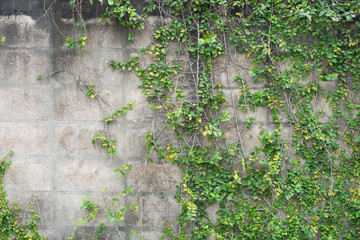 Green climber plant on dirty and old gray brick wall for background and copy space.