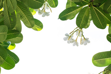 White frangipani leaf and white background