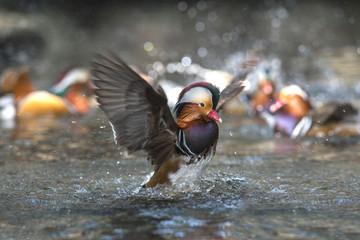 Mandarin duck  , Beautiful duck , male duck