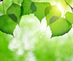 Spring leaves of birch on green nature background.