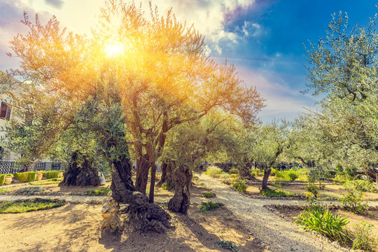 The Gethsemane Olive Orchard, Garden located at the foot of the