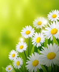 White daisy flowers with green background