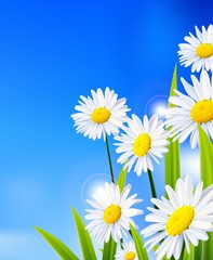 White daisy flowers with blue background