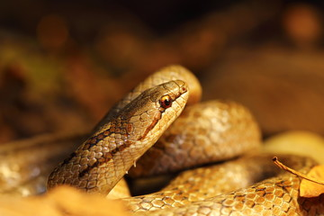 detail of smooth snake in autumn forest ground