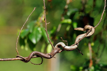 smooth snake climbing on tree branch