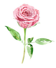 cute pink rose on white background. watercolor painting
