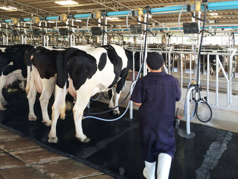 A Milkmaid is working to milk dairy cows in the farm.