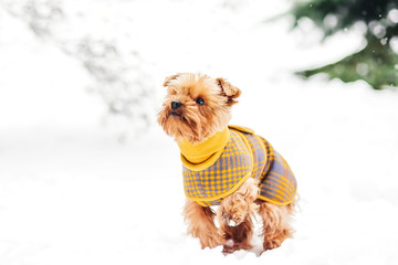 Yorkshire terrier in the snow wearing playing in the park on the snow. Winter time.