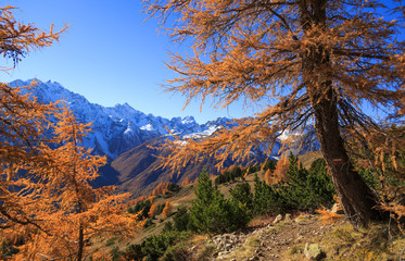 Fotomurales - Alpine hiking trail on a colorful autumn day, with yellow larch trees and high mountain peaks  in the background.