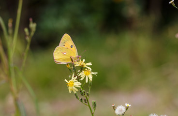 A yellow butterfly feeds on nectar