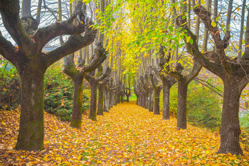 Elms lined in private home road in Autumn with foliage in Italy,Europe / trees/ gate/ road / empty/ autumn