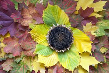 Sunflower head on the autumn leaves.