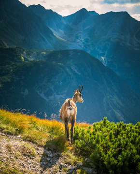 Beautiful chamois mountain goat in natural habitat