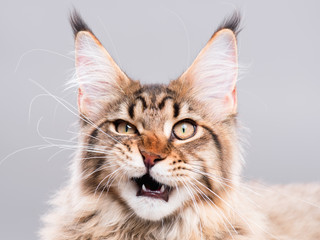Portrait of domestic black tabby Maine Coon kitten - 5 months old. Cute striped kitty looking at camera. Beautiful young cat make funny face on grey background.