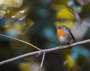 little robin bird perched on a twig