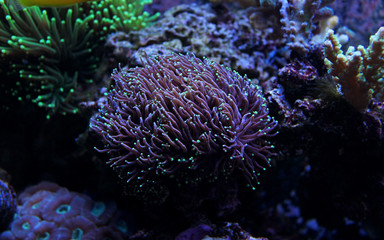 Small Green tip Purple Euphyllia Torch Coral