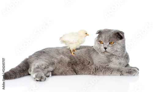 Chicken sitting on a cat. isolated on white background