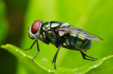 insect fly. green housefly.