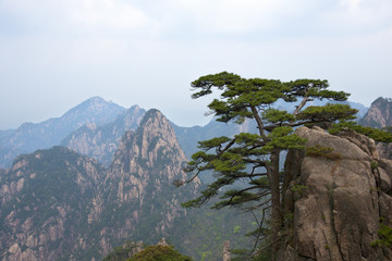 Pine tree on Huangshan Mountains in Anhui Province, China