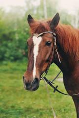 Голова рыжей лошади