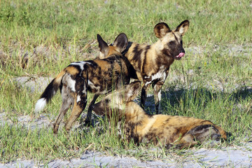 The African wild dog, African hunting dog, or African painted dog (Lycaon pictus) group of dogs during a welcome ceremony