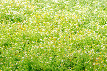 Chamomile flowers on a fresh field on a sunny day with a beautiful organic natural warm look for a tea plantation