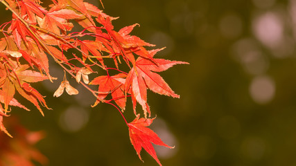 Canadian red maple leaves,Vancouver,BC,Canada