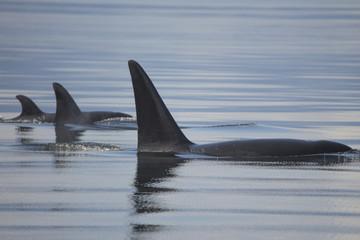 Orca Family, Alaska