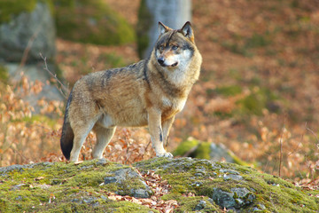 Alone Wolf in Forest