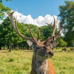 Male deer grazing in field