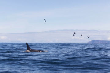 Orca or Killer Whale in the Tasman Sea in Tasmania, Australia