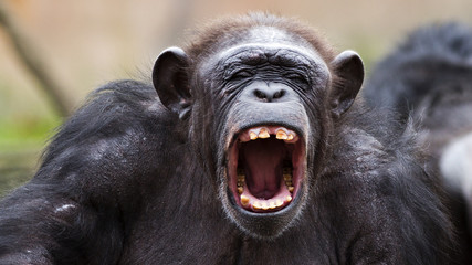 portrait of a chimpanzee yelling