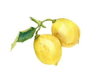 Two lemons. Watercolor botanical illustration