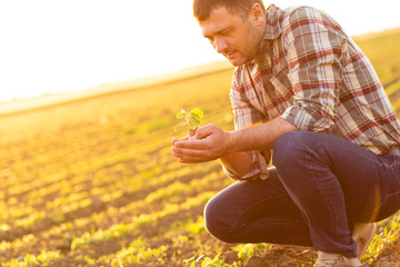 Farmer in a field holding and examining crop in his hands at sunset.