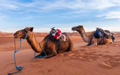 Rastende Dromedare einer Karawane in den Dünen der Sahara bei Merzouga; Marokko