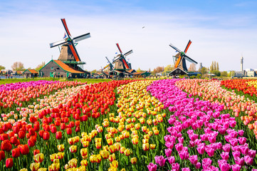 Landscape with tulips in Zaanse Schans, Netherlands, Europe Wall mural