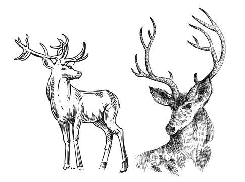 Hand drawn vector illustration sketch of deer