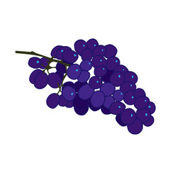 Purple burgundy and blue grape vector flat illustration on white background.