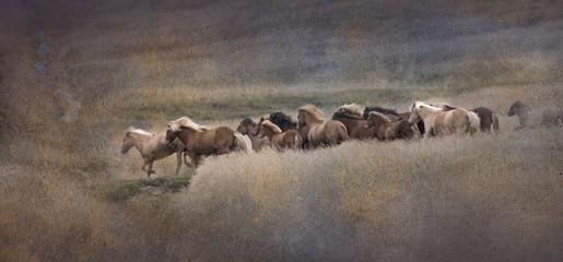 Running Herd of Icelandic Horses, Iceland