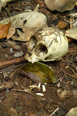 The animal skull in the forest.