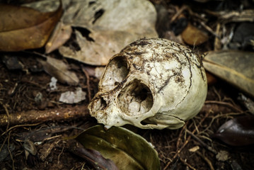 The animal skull in the woods.