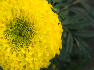 Yellow Marigold Blooming
