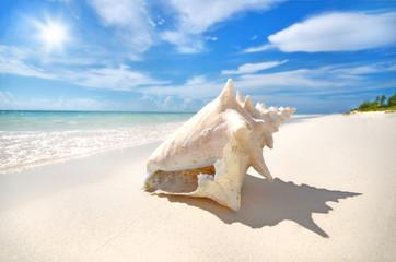 Conch auf den Bahamas