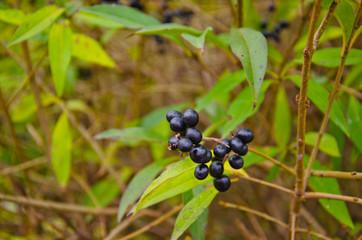 Berries of the common privet (Ligustrum vulgare) on autumn