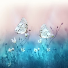 Two beautiful white butterfly on small white flowers on blurred blue and soft pink background. Spring and summer floral background with butterflies. Gentle romantic dreamy artistic image.