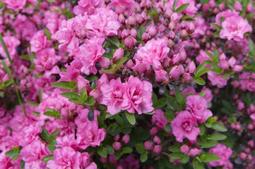 flowers of pink azalea (rhododendron), local focus, shallow DOF
