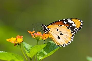 Milkweed butterfly (Anosia chrysippus, Danaidae) feeding on flow
