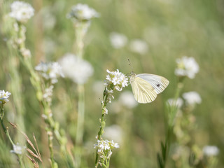 Large white, Pieris brassicae